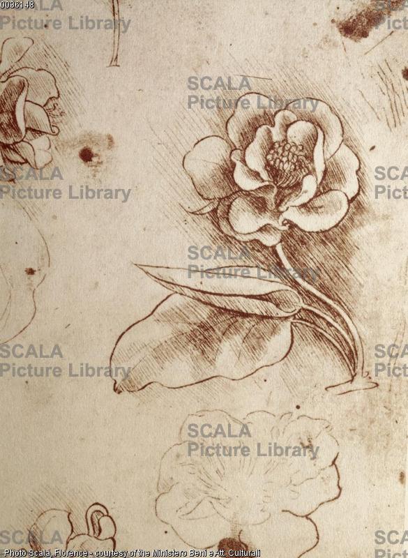 Leonardo da Vinci (1452-1519) Studi di fiori - particolare